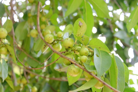 Diospyros mollis Griff  or ebony and persimmon tree Stock Photo - 20983017