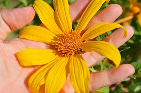 Mexican Sunflower Weed or Tithonia diversifolia  Hemsl   A  Gray  in hand photo
