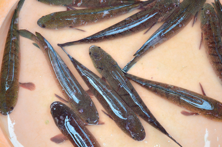 snakehead: Striped snakehead fish on sell in freshwater fishes market