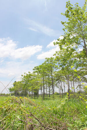rubber trees growing in the country of Thailand photo