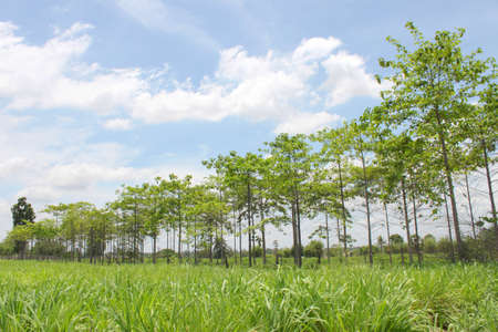grasses field and rubber trees growing in the country of Thailand photo