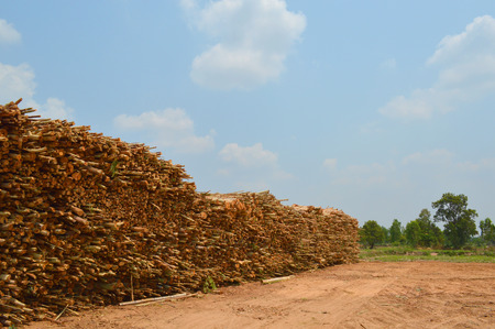 pile of eucalyptus trees collected for paper industry photo