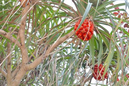 pandanus tree: Pandanus tectorius, Pandanus odoratissimus, Hala, Bacua, Vacquois