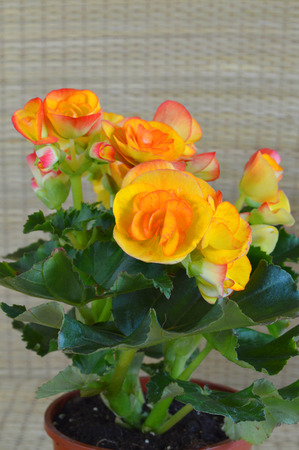 Begonia flowers in plant plastic pot photo