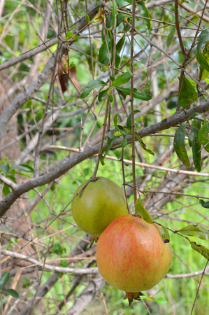 green pomegranate fruit on tree branch photo