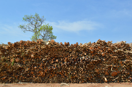 pile up of eucalyptus trees collected for paper industry photo