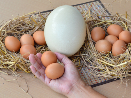 ostrich egg and chicken eggs in human hand  photo