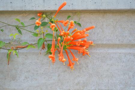 Orange trumpet ornamental flowers on concrete wall photo