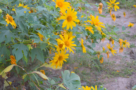 Mexican Sunflower Weed or Tithonia diversifolia  Hemsl   A  Gray  photo
