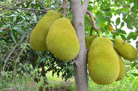 jack fruits on tree in tropical garden photo