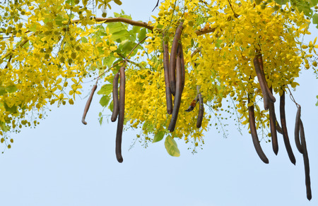 linn: Golden shower, Indian laburnum, Pudding-pine tree, Purging Cassia or Cassia fistula Linn