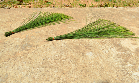 reed stem: sun dried of green papyrus for use as raw materials for weaving hand craft work product Stock Photo