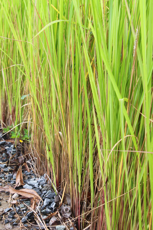 thatch: Vetiveria zizanioides or vetiver grass or thatch or cogon grass