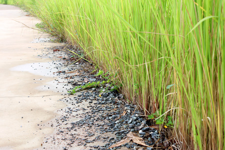 Vetiveria zizanioides or vetiver grass or thatch or cogon grass