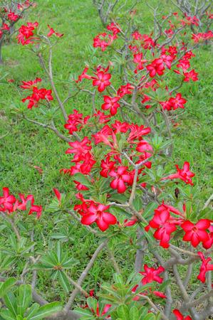 obesum balf adenium: Adenium obesum Balf. or Desert Rose Stock Photo