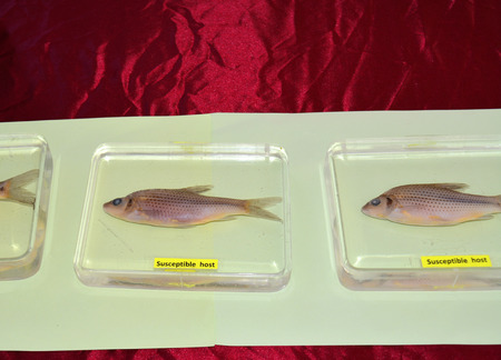 biology instruction: MAHASARAKHAM  JUNE 20 : Freshwater fishes susceptible host of opisthorchis viverrini are on display in health assembly seminar at Padung Nari school on June 20 2015 in Mahasarakham Thailand. Editorial