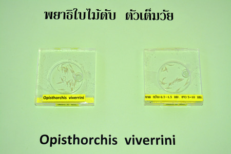 susceptible: MAHASARAKHAM  JUNE 20 : Opisthorchis viverrini are on display in health assembly seminar at Padung Nari school on June 20 2015 in Mahasarakham Thailand. Editorial