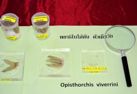 biology instruction: MAHASARAKHAM  JUNE 20 : Opisthorchis viverrini are on display in health assembly seminar at Padung Nari school on June 20 2015 in Mahasarakham Thailand. Editorial
