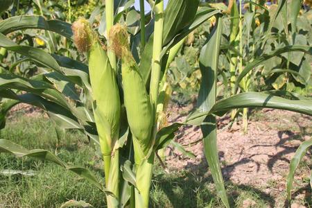 husbandry: corn cultivation in plantation and husbandry Stock Photo