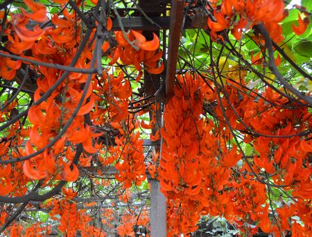 jade plant: newguinea creeper or red jade vine