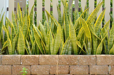 Sansevieria trifasciata, also called snake plant, mother-in-laws tongue or Saint Georges sword Stock Photo