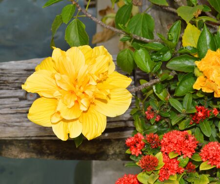 china rose: Hibiscus Rosa sinensis, many common names as Chinese hibiscus, China rose, Hawaiian hibiscus, and shoe flower