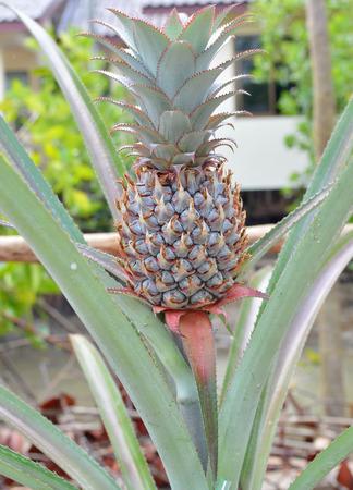 aechmea: Bromeliad or Aechmea fasciata in outdoor home garden