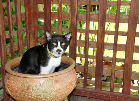 siamese cat: siamese cat sitting on plant pot in tropical garden