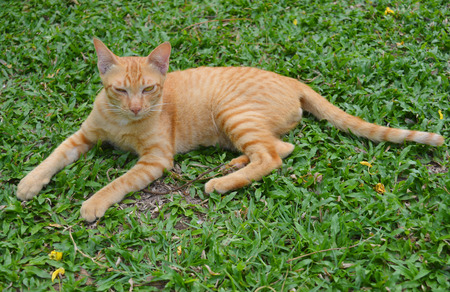 siamese cat: siamese cat laying on green grass in tropical garden