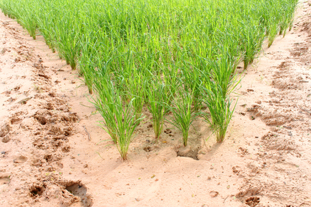 scientific farming: jasmine rice growth in loamy sand field research for best agricultural product in Thailand Stock Photo