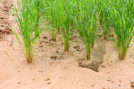 loamy: jasmine rice growth in loamy sand field research for best agricultural product in Thailand Stock Photo