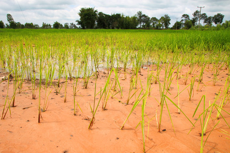 sandy soil: field research of jasmine rice growth in loamy sand for best agricultural product in Thailand Stock Photo