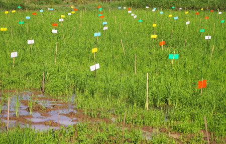 scientific farming: field research of jasmine rice for best agricultural product in Thailand Stock Photo