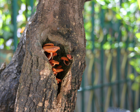 hollow tree: brown mushrooms in a tree hollow Stock Photo
