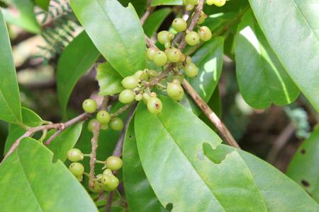 ebony: ebony fruits and tree in forest of Thailand