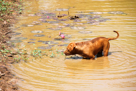 shallow water: pit bull dog at shallow water pond