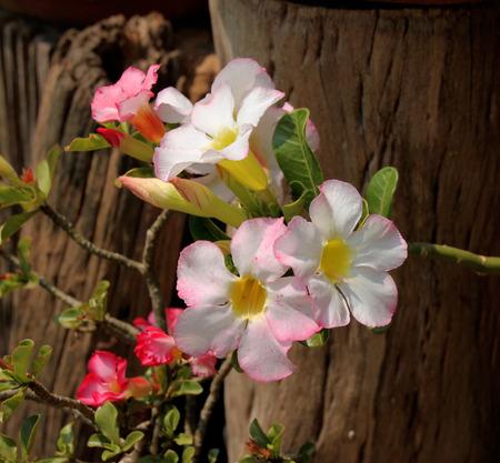 obesum: Adenium obesum Balf. or Desert Rose Stock Photo