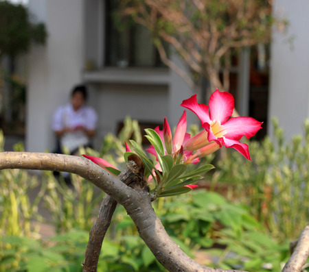obesum balf adenium: Adenium obesum Balf. or Desert Rose and unidentified woman blurred on background