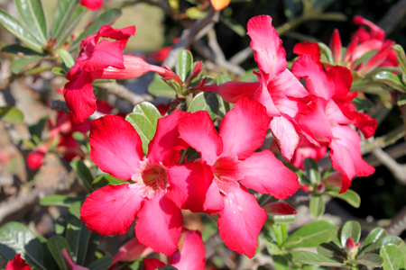 adenium obesum balf: Adenium obesum Balf. or Desert Rose Stock Photo