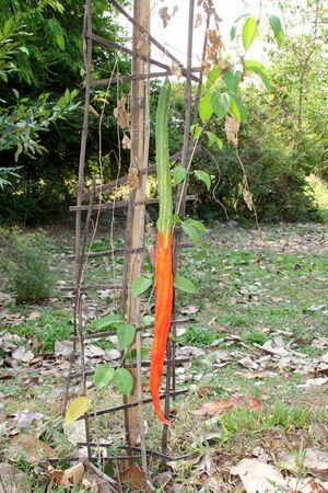 hoist: snake gourd a tree of hoist