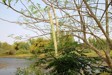 drumstick tree: fruit of horse radish tree or Drumstick (Moringa oleifera Lam)