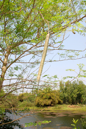 the drumstick tree: fruit of horse radish tree or Drumstick (Moringa oleifera Lam)