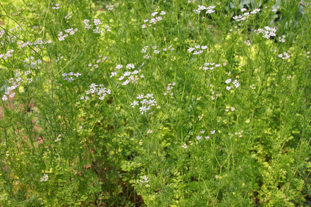 dill plant as agricultural background Stock Photo