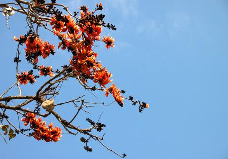 bastard: Bastard Teak flower tree or Butea monosperma Kuntze Stock Photo