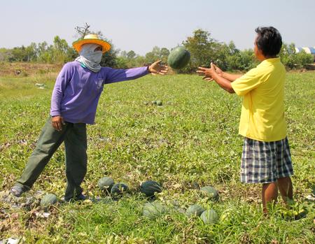 PAYAKKAPHUMPHISAI - FEBRUARY 4 : Workers are harvesting in organic watermelon farmland on February 4, 2016 in Payakkaphumphisai, Mahasarakham, Thailand.