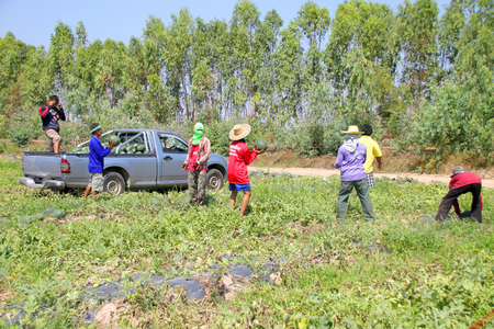 unskilled worker: PAYAKKAPHUMPHISAI - FEBRUARY 4 : Workers are harvesting in organic watermelon farmland on February 4, 2016 in Payakkaphumphisai, Mahasarakham, Thailand.