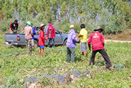 unskilled: PAYAKKAPHUMPHISAI - FEBRUARY 4 : Workers are harvesting in organic watermelon farmland on February 4, 2016 in Payakkaphumphisai, Mahasarakham, Thailand.