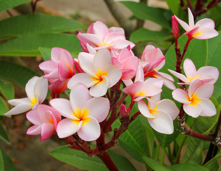 ornamental garden: plumeria flowers in ornamental garden Stock Photo