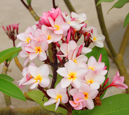 apocynaceae: plumeria flowers in ornamental garden Stock Photo