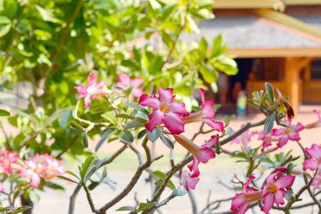 desert rose: Pink Desert Rose or Impala Lily flowers Stock Photo